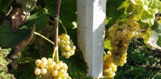 solaris sorta vinove loze