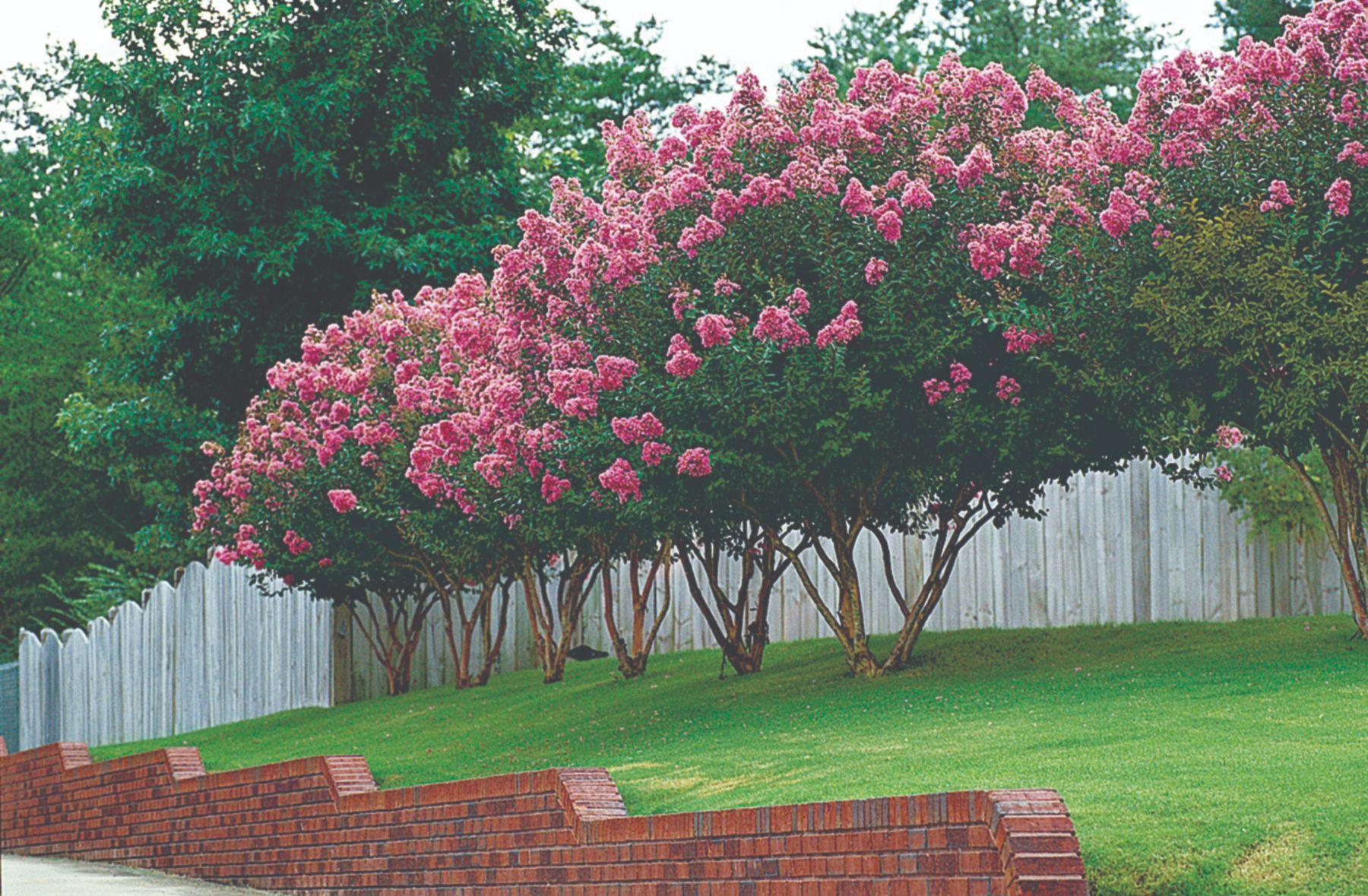 mala ukrasna stabla za vrt i dvorište