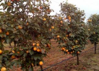 otpadanje plodova kaki jabuke