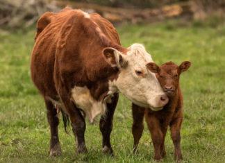 plaćanje doprinosa sustav krava tele
