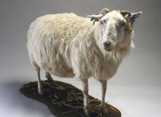 transgenična ovca