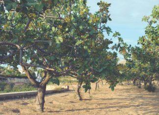 uzgoj pistacija pistacio