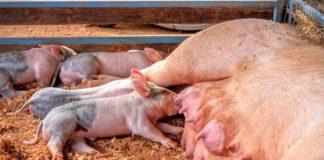 crijevna mikrobiota svinja