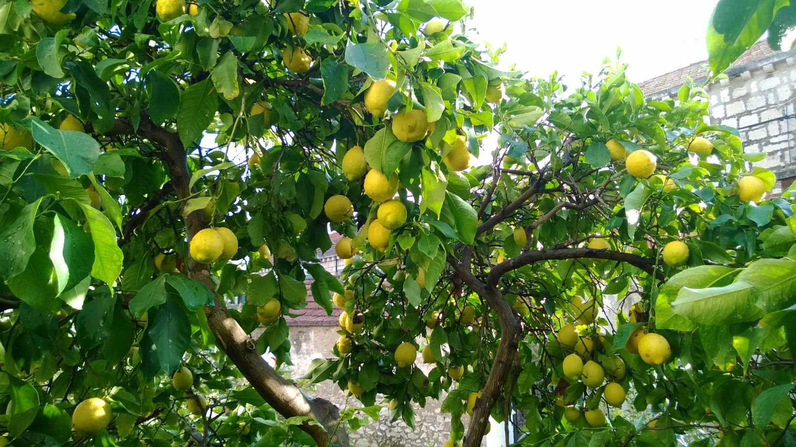 uzgoj limuna