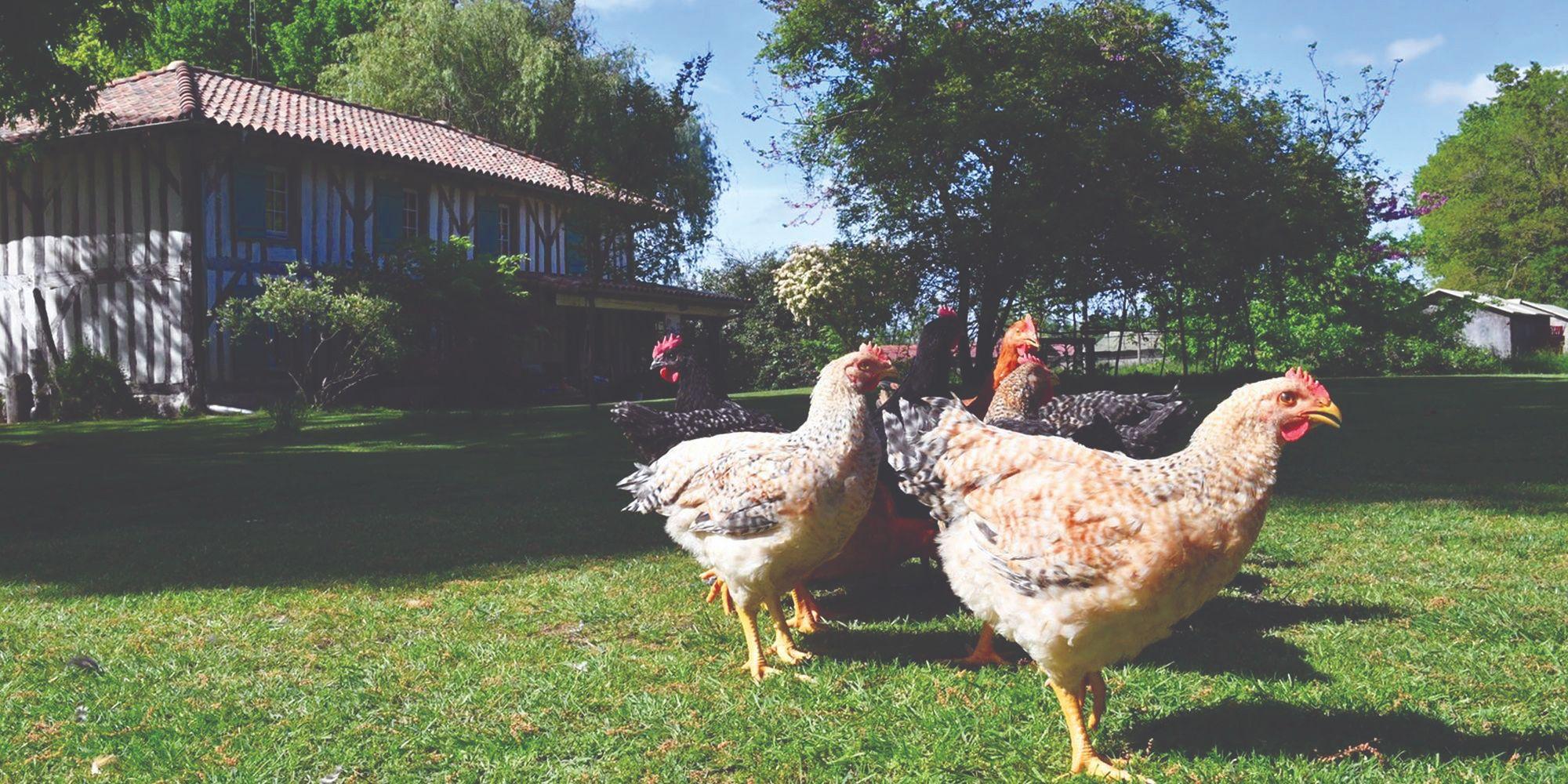 sasso pasmine kokoši