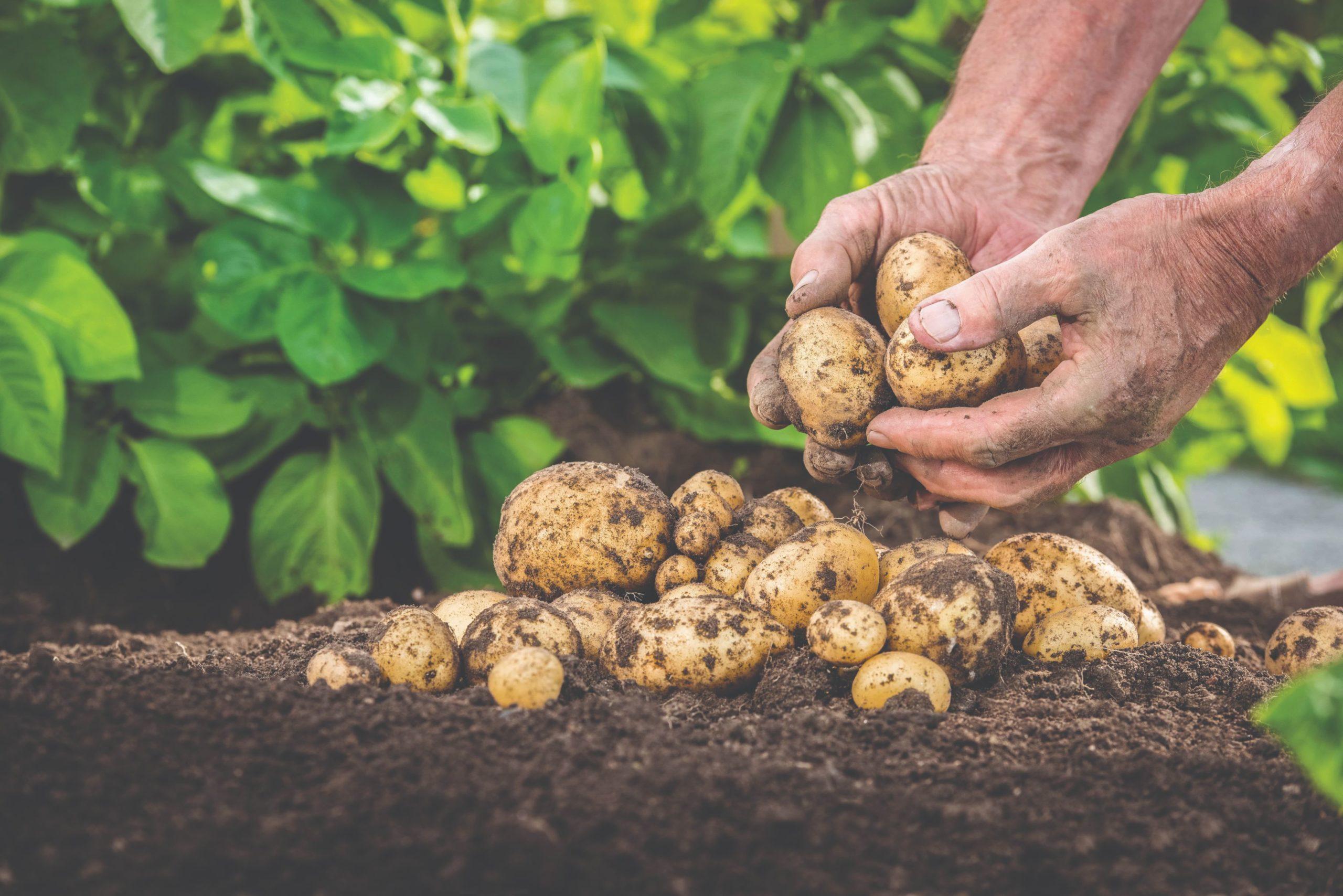 velike ljetne vrućine i krumpir prooizvodnja krumpira