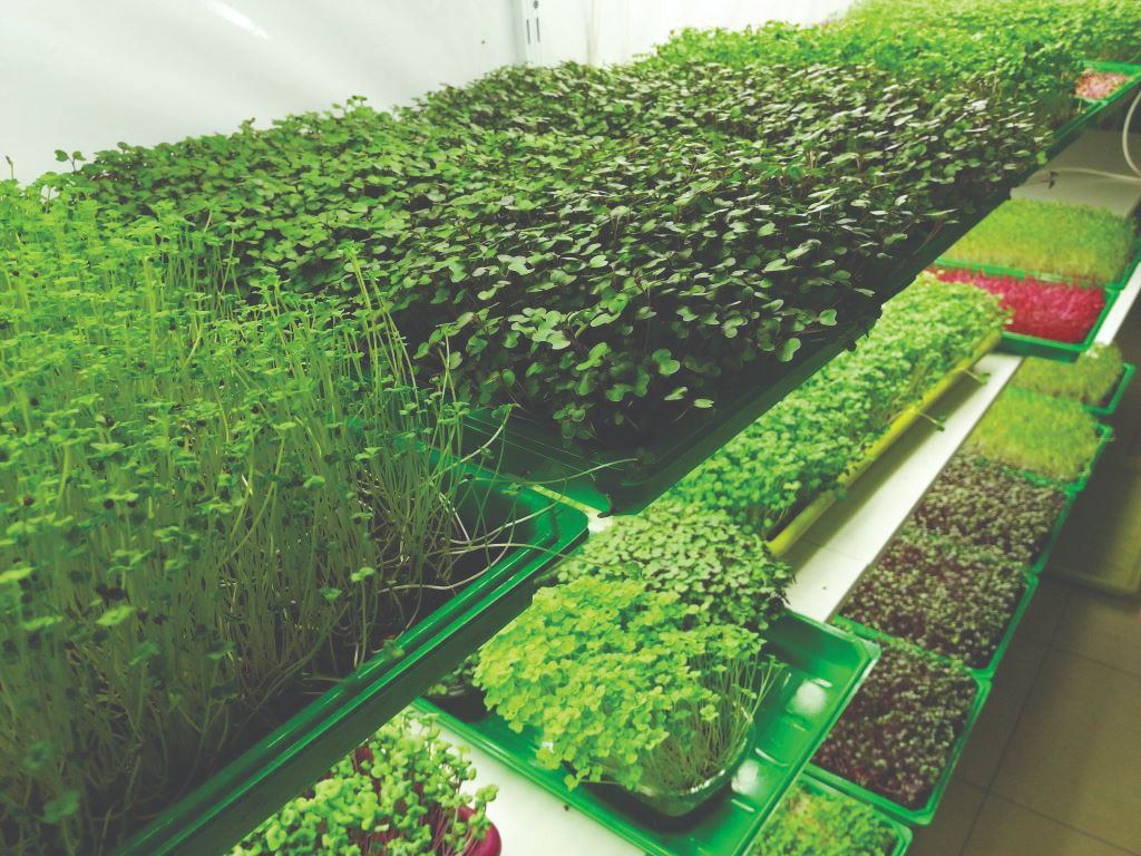 mikrozelenje uzgoj microgreens