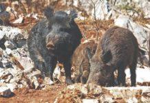 križanci domaće i divlje svinje