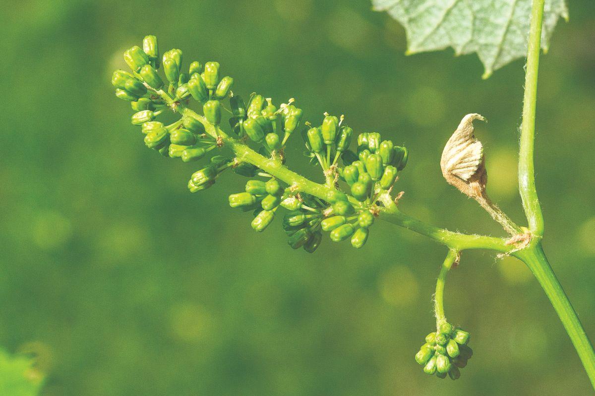 bolesti u vinogradima
