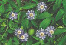 rajski cvijet pasiflora