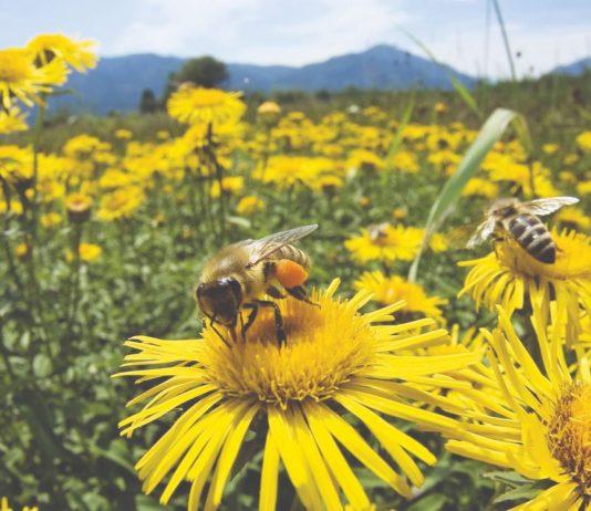 prihranjivanje i paše pčela