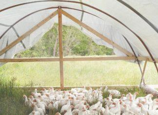 gdje držati kokoši
