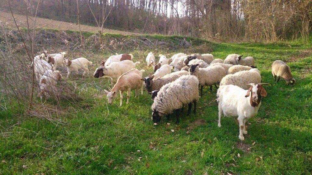 burske koze i romanovska ovce