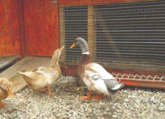 saska patka uzgoj