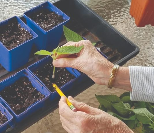 kako razmnožiti grm reznicama , razmnožavanje reznicama