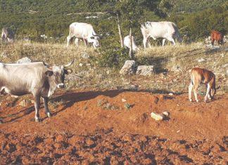 uzgoj goveda krški pašnjaci