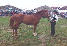 potpore za uzgoj toplokrvnih pasmina konja