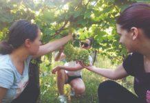 proizvodnja stolnog grožđa stolno grožđe
