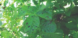 crna pjegavost bolesti cime krumpira