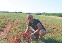 otkup rajčice u istri podravka