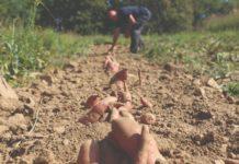 opg buhinjak batat ekološki uzgoj proizvodnja batata