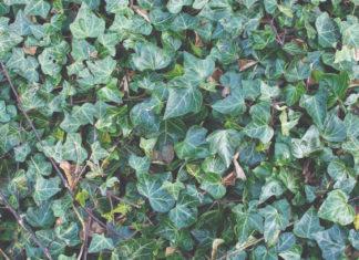 samonikle ljekovite šumske biljke