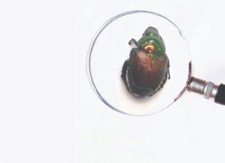 štetni organizmi azijska strizibuba