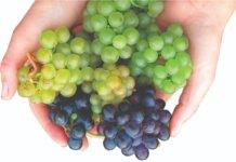 sorte vinove loze otporne na bolesti
