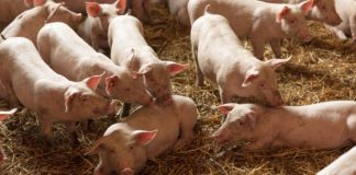 kruti svinjski ili stajski gnoj