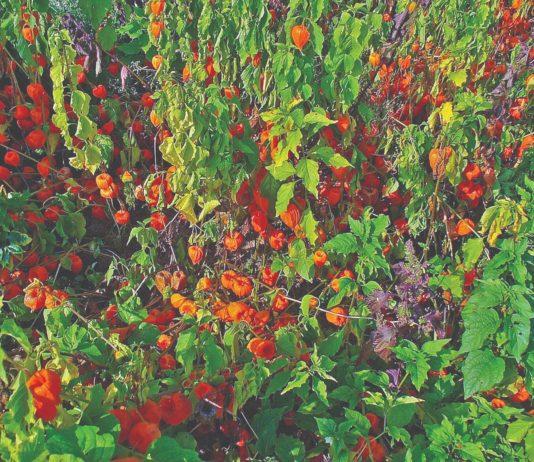 šumska mjehurica samoniklo ljekovito bilje