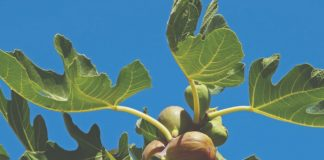 kako podići nasad masline smokve i limuna