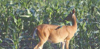 jelenska divljač radi velike štete na usjevima
