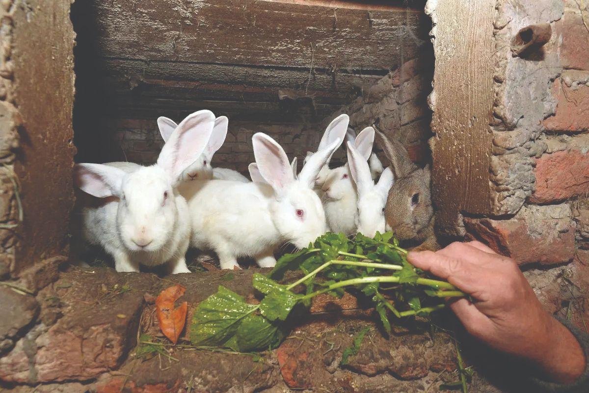 hranidba kunića hrana za kuniće