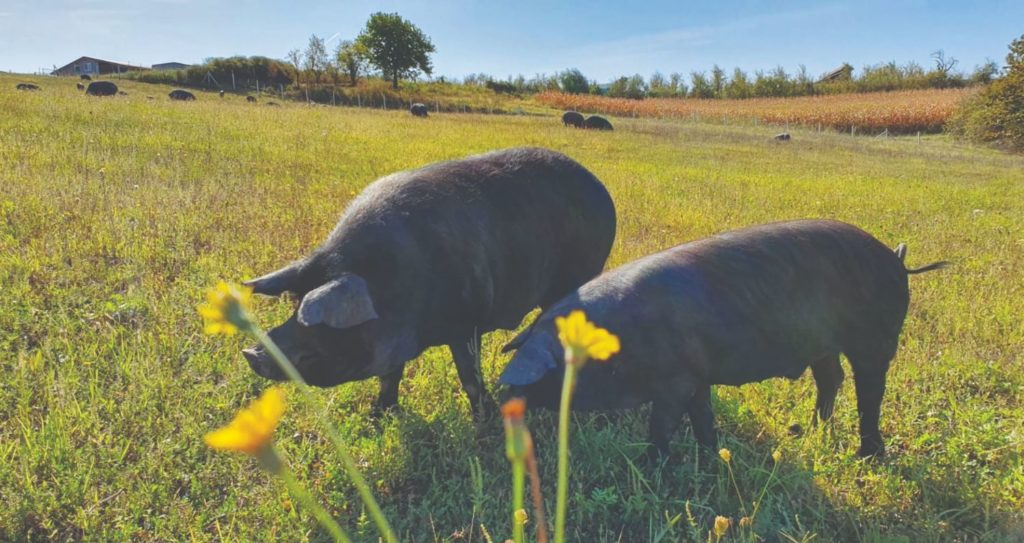 uzgoj podolca i crnih svinja
