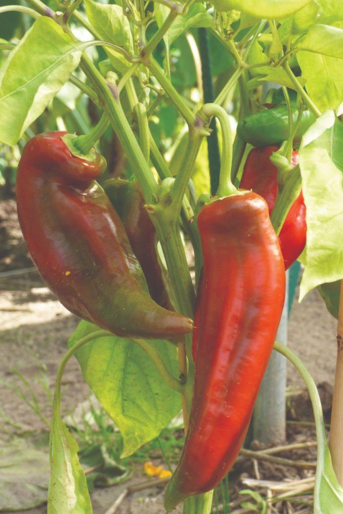 plodovito povrće paprika
