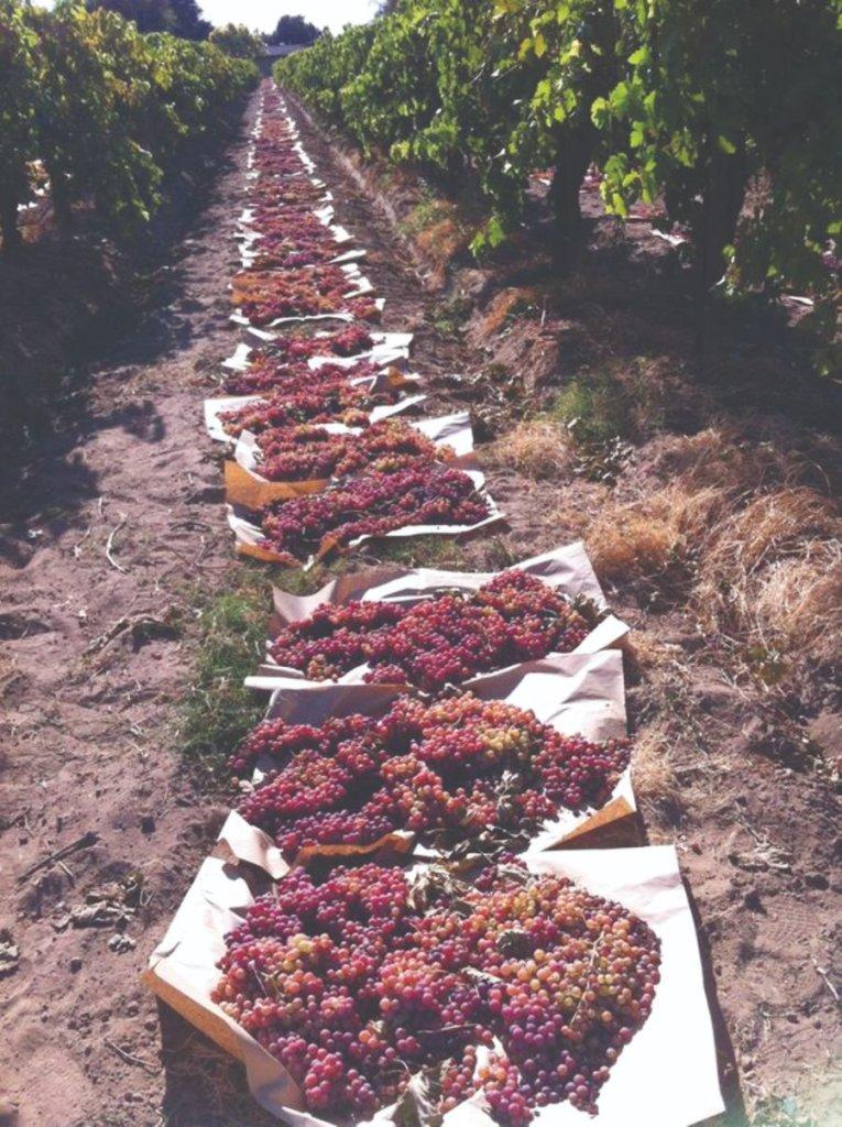 sušenje grožđa