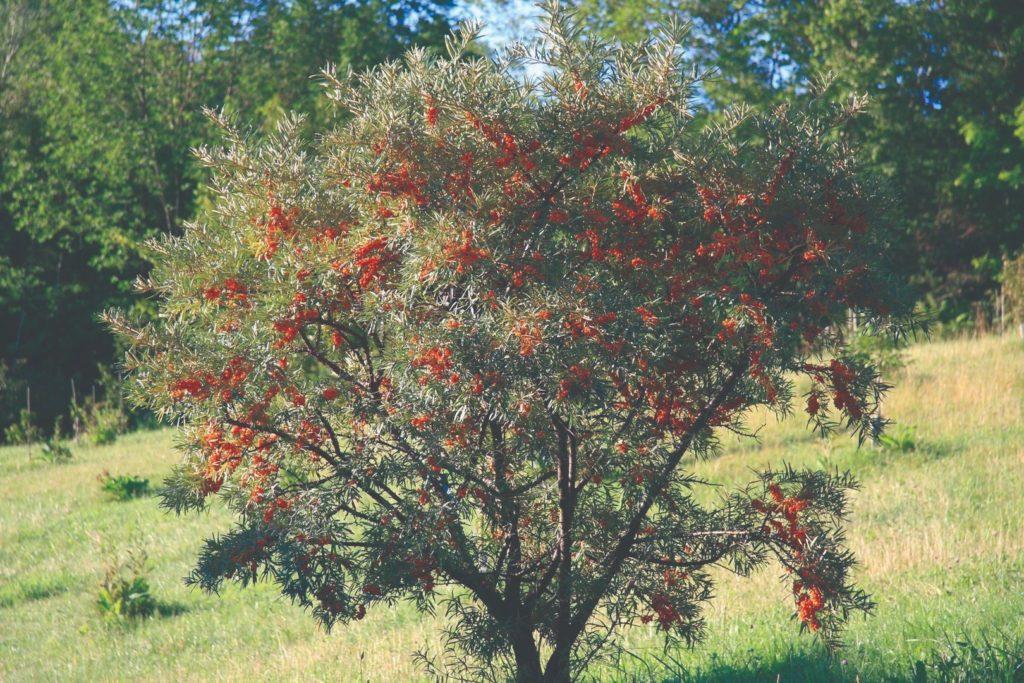 ukrasna stabla za dvrorište