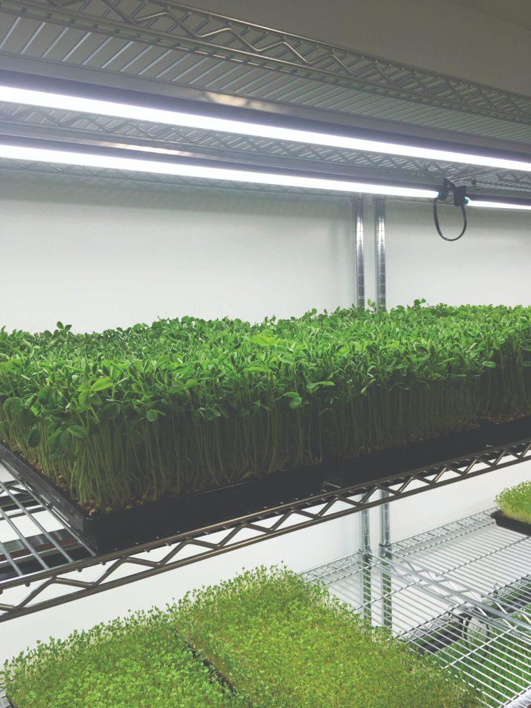 mikrozelenje uzgoj