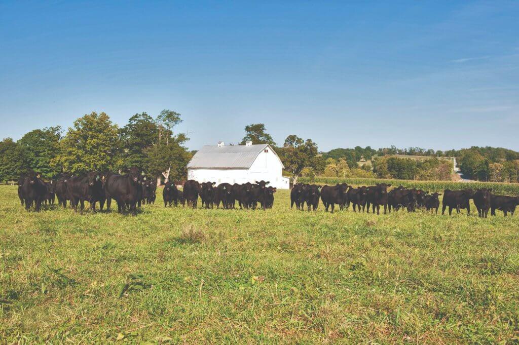 hranidba u tovnom govedarstvu