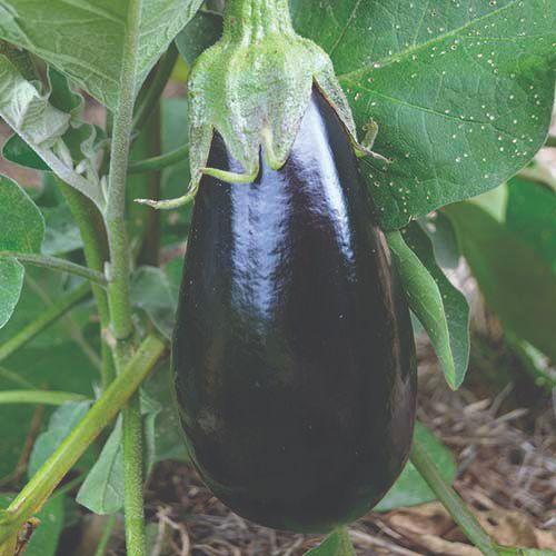 plodovito povrće patlidžan