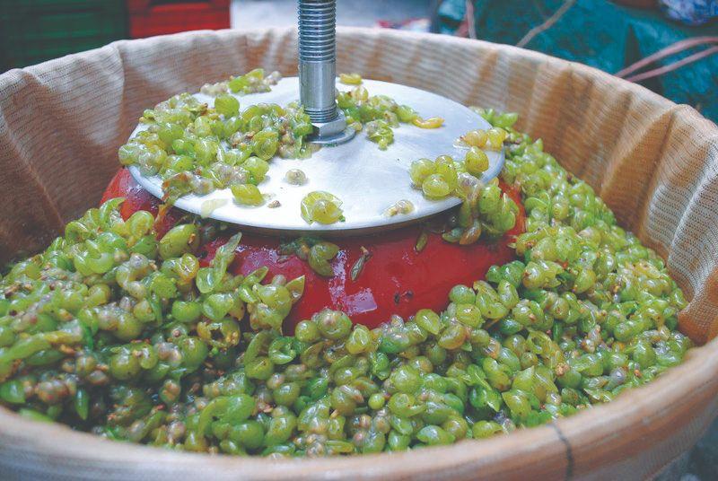 berba i prerada grožđa