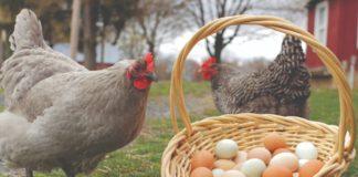 slobodni uzgoj kokoši nesilica