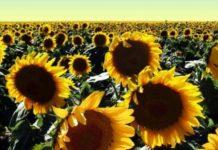 visokooleinski ekološki suncokret